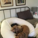 Dogs in bed with Ultimate pillow