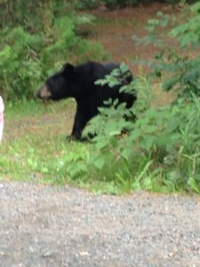 Baby brown bear walking out of woods